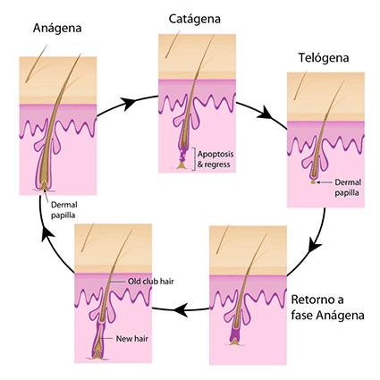 ciclo do cabelo